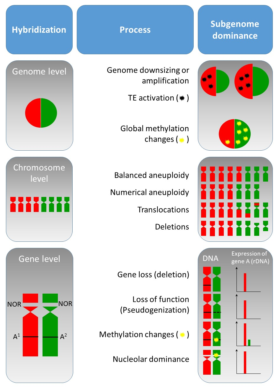 New publication: Competition of parental genomes in plant hybrids