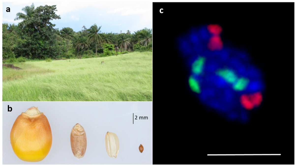 New publication: Fonio millet genome unlocks African orphan crop diversity for agriculture in a changing climate