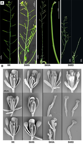 New publication: Deregulated Phosphorylation of CENH3 at Ser65 Affects the Development of Floral Meristems in Arabidopsis thaliana