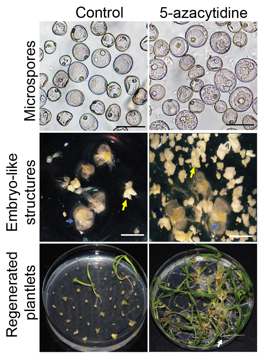 New publication: Chemically-induced DNA de-methylation alters the effectiveness of microspore embryogenesis in triticale