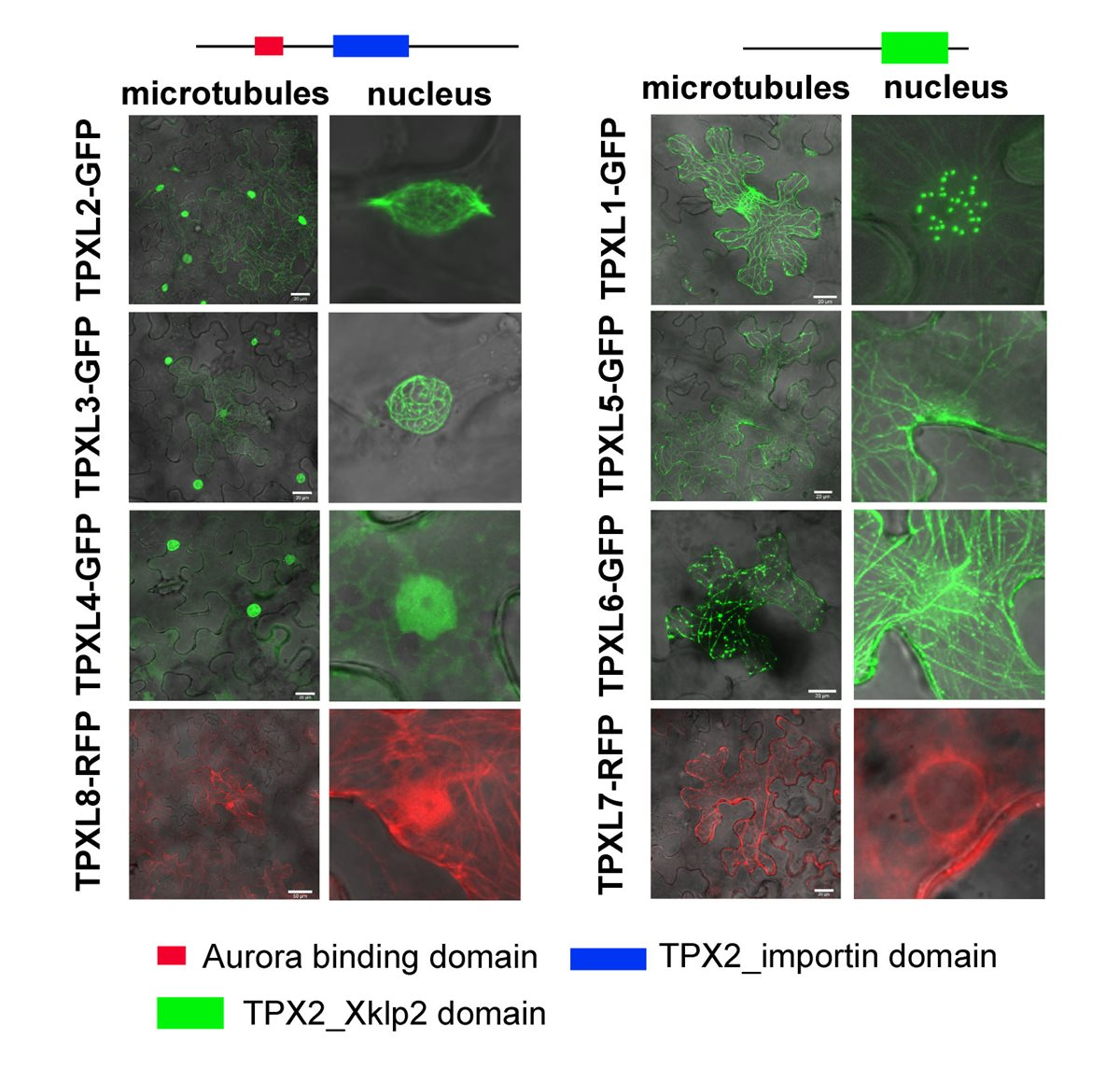 New publication: Functional divergence of microtubule-associated TPX2 family members in Arabidopsis thaliana